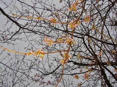 洋野町種市体育館前の桜