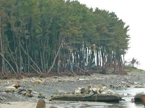戸類家海岸の松林