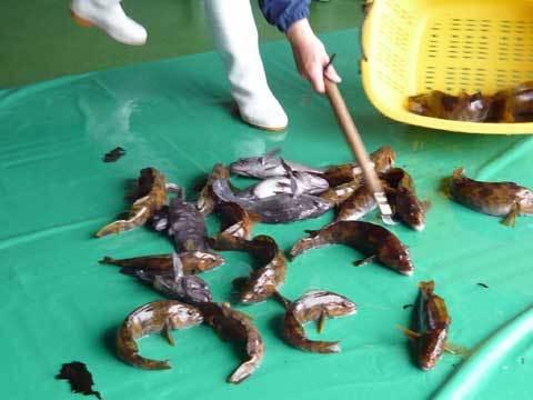 魚の仕分け