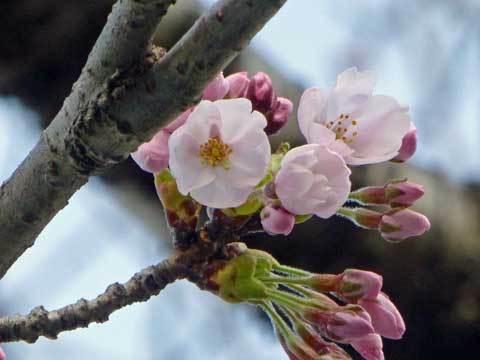 洋野町の桜