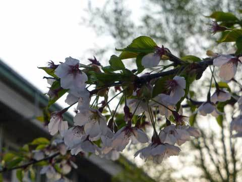 宿戸小学校の桜