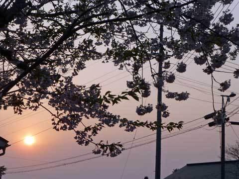 種市小学校の桜