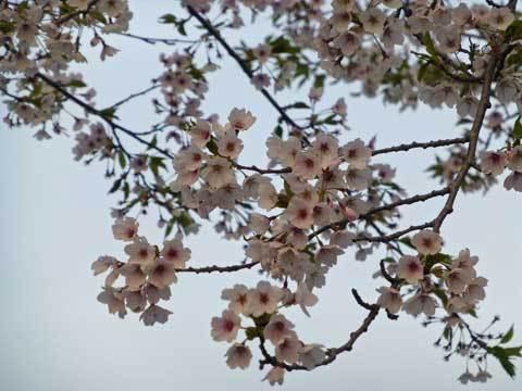 種市幼稚園の桜