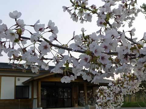 玉川地区センターの桜