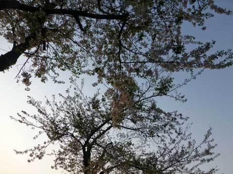 宿戸駅の桜